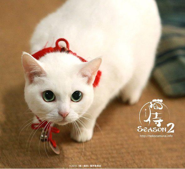「猫侍」白猫・玉之丞とツーショットが撮れる!50名限定の撮影会を開催(画像 4/12) - 映画ナタリー