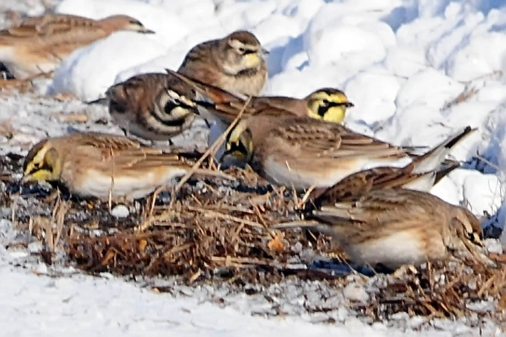A Group Of Larks 18