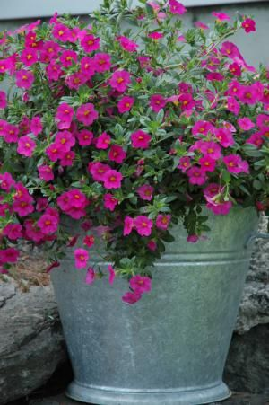 You Can Make Almost Anything Into a Container Garden: Container Garden in Large Galvanized Steel Bucket