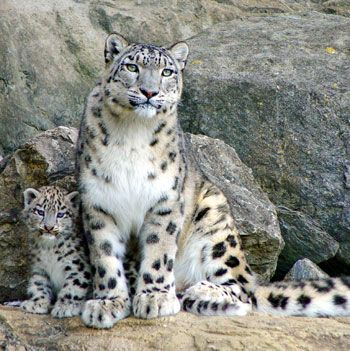 Snow leopard. Central Asia. Long tail, big paws.