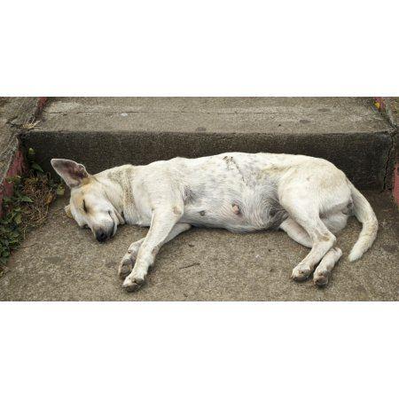 Dog sleeping Catarina Masaya Nicaragua Canvas Art - Panoramic Images (36 x 12)