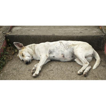 Dog sleeping Catarina Masaya Nicaragua Canvas Art - Panoramic Images (36 x 12)