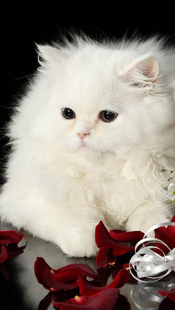 Kitten is so beautiful ,delicate and snowy white. Love to cuddle!!!