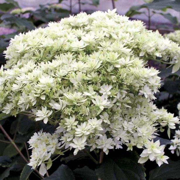 hortensia hydrangea arborescens hayes starbust hortensia pinterest meilleures id es. Black Bedroom Furniture Sets. Home Design Ideas