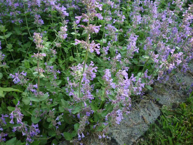 A méhekből, de néhány más beporzást végző rovarból is egyre nagyobb a hiány. Ennek tudatában az okos kiskertész kedvenc évelői vonzzák a rovarokat, lepkéket, emellett igénytelenek, sokat tűrők. Sok méhcsalogató, díszítő gyógynövény ilyen. Köztük említhetjük a macskamentát.  http://kertlap.hu/legyen-macskamenta-2017-ev-gyogynovenye/