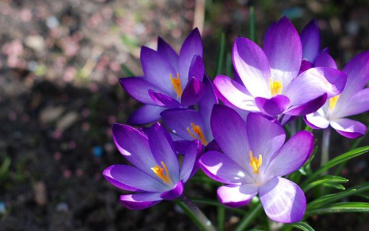 2388854346-crocuses-flowers-loose-Rgkq-Rgkq-1152x720-MM-78.jpg (1152×720)