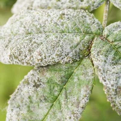 Controlling and Preventing Powdery Mildew on Plants