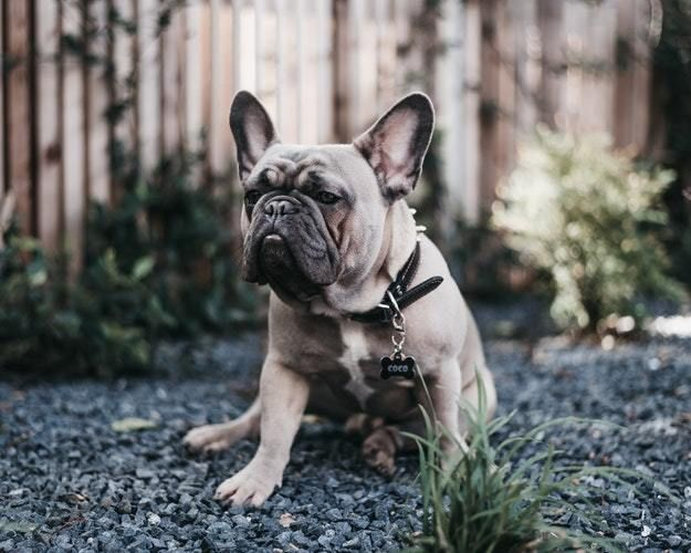 How Much And How Often Should You Feed Your French Bulldog Dogs