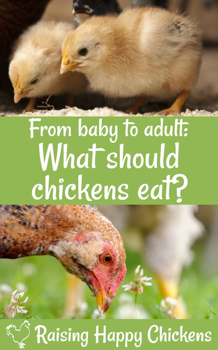 33 best chicken quotes images on pinterest chicken quotes