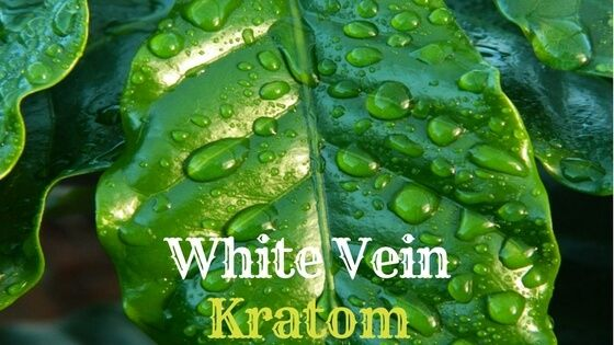 White vein kratom is unique. It has less pain-killing effects than red and green, but most energy and brain boosting benefits.