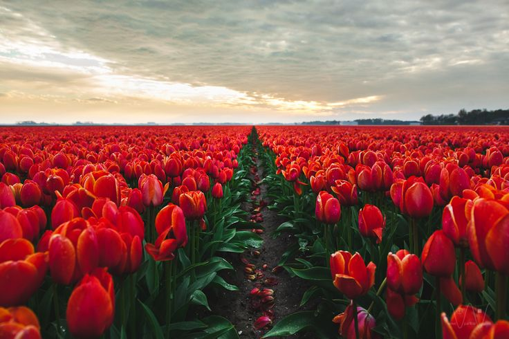 A field of red tulips at sundown near Emmeloord in the Netherlands