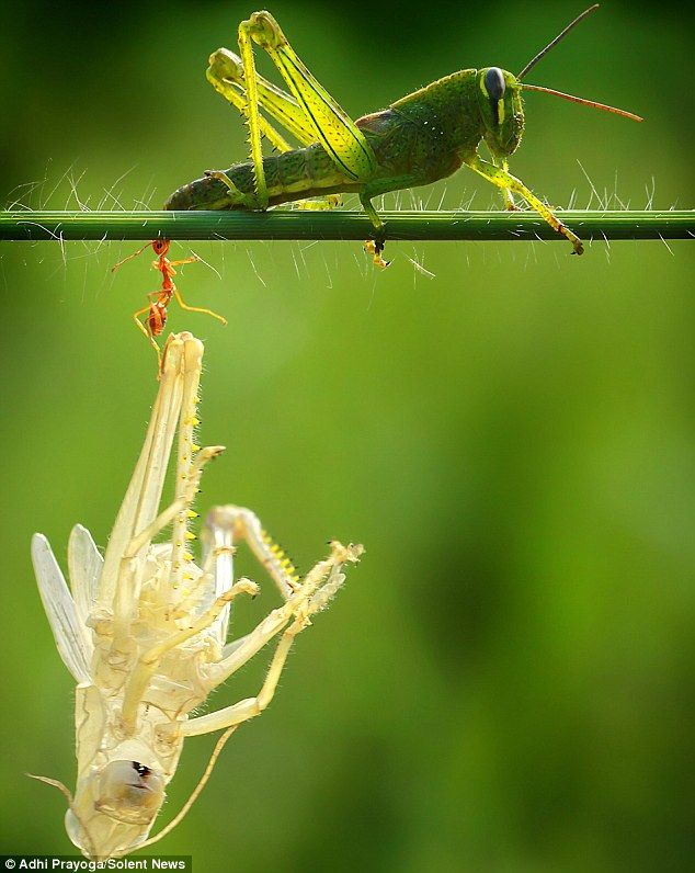 This green locust sheds his outer skin, which interests an ant who carries it off. By photographer, Adhi Prayoga, in Mataram, Indonesia.