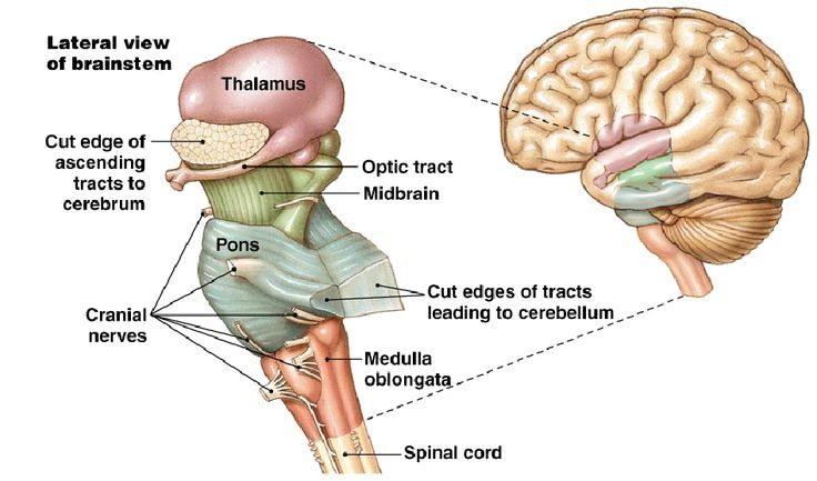 40 best nervous system infrographics images on pinterest nervous the brain stem nervous system ccuart Choice Image