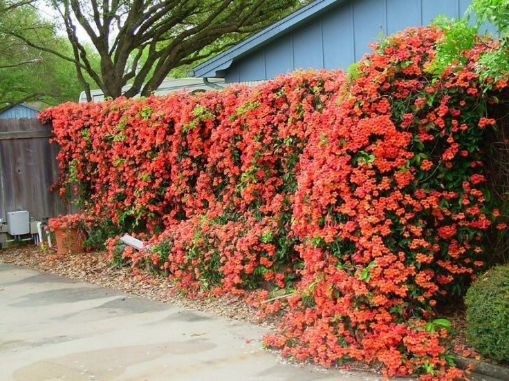 Campsis radicans - AKA Trumpet vine AKA Witches Fingers - Out competes poison ivy! USE it! Agrressive.