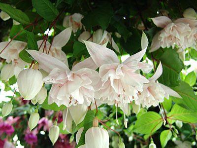 Fuchsia 'PINK MARSCHMALLOW'   Mit tollen gefüllten, weiß / weiß-rosafarbigen Blüten. Eine hängend wachsende Fuchsie.