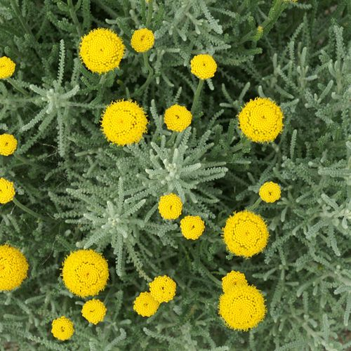 17 beste idee n over arbuste feuillage persistant op pinterest plante persistant - Polygala myrtifolia feuilles jaunes ...