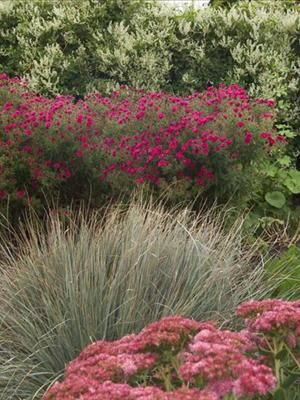 Sedum, Aster and Blue Oat Grass