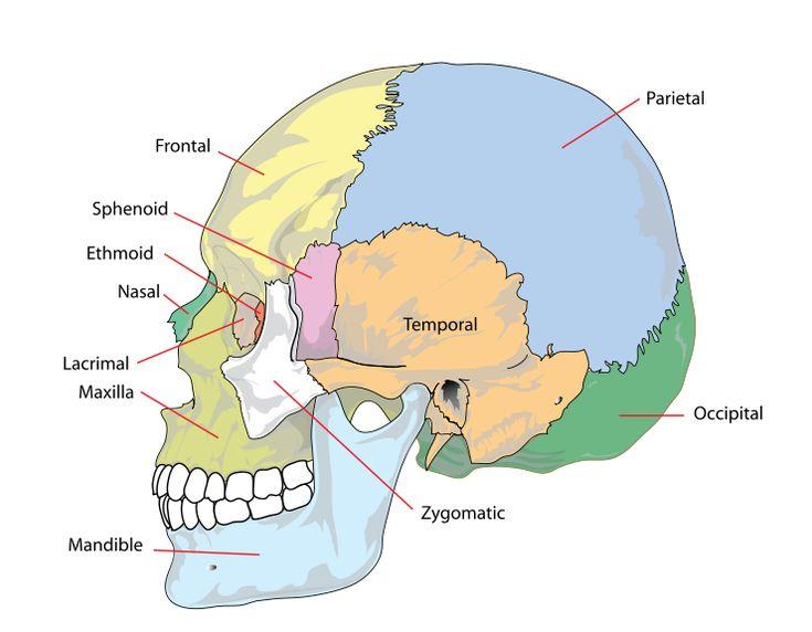 Human skull side simplified (bones) - Crâne (anatomie humaine) — Wikipédia