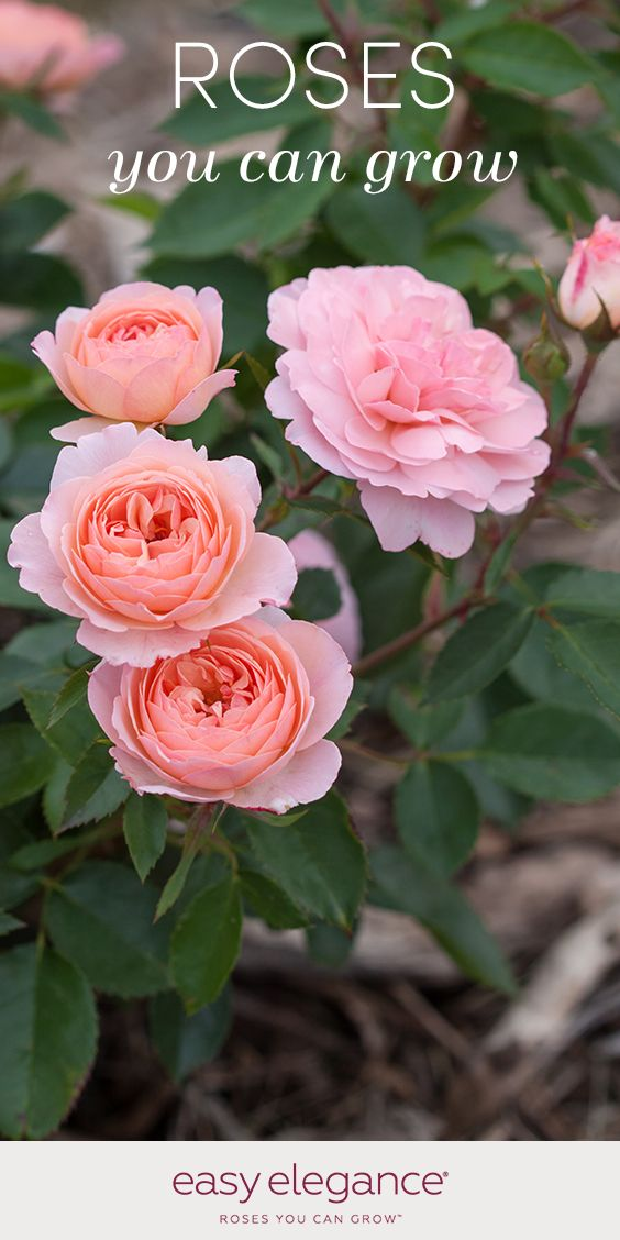 Best 25 rose varieties ideas on pinterest all flowers name planting roses and bush plant - Rose cultivars garden ...