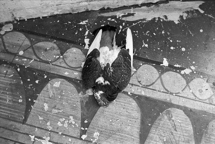 33 023 - Fox Darkroom dead pigeon