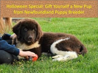 Halloween special gift yourself a new pup from newfoundland puppy breeder  Kristen Reid and Tara Blankenship is licensed Newfoundland Dog Breeder in the state of Illinois. All of the puppies come with AKC limited registration, full may be available to an approved home. All of the Newfoundlands are OFA & Penn-hiped certified. All of the puppies are clean, healthy and raised indoors to socialise with kids, noises and busy household.