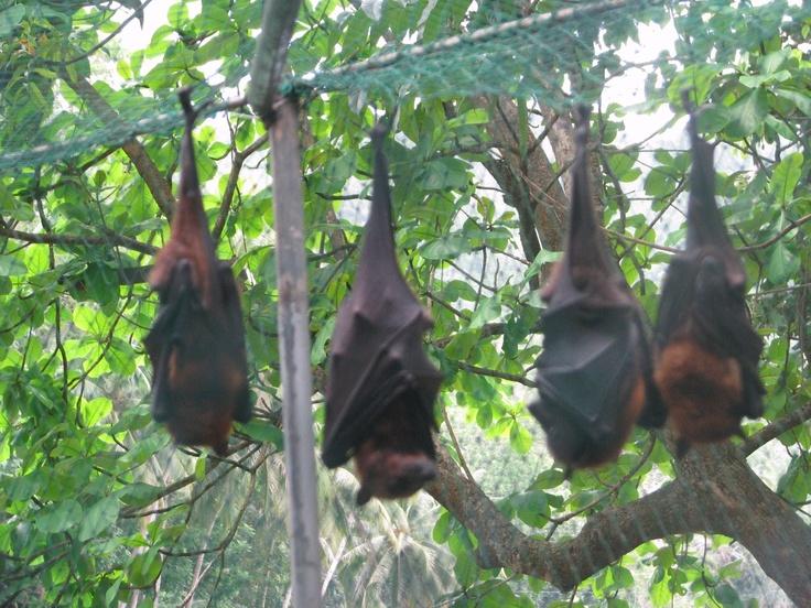 El Zorro Volador Filipino al igual que el resto de los grandes murciélagos (megaquirópteros) se caracteriza por presentar un morro parecido al de los zorros, ser frugívoro y carecer de ecolocalizacion, pero no nos encontramos ante un gran murciélago, sino ante el mayor murciélago, ante el rey, el Conde Dracula  Vegetariano Filipino.    Visto en Bohol,Filipinas.
