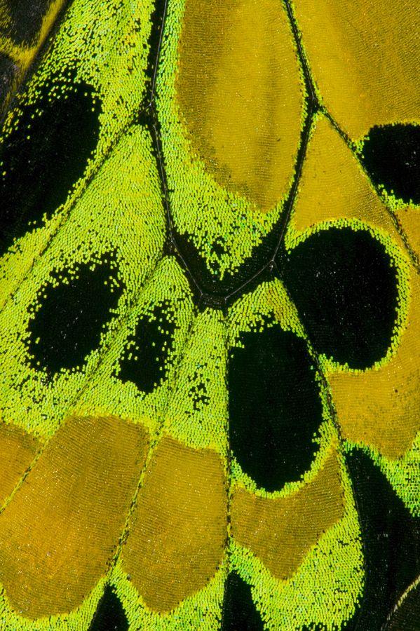Birdwing Butterfly Wing Details photograph by:  Darrell Gulin