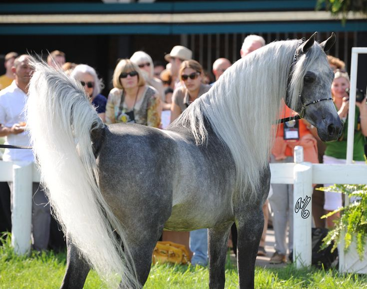 Arabian stallion Sidon SMF