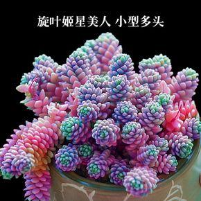 多肉植物 黄金丸叶万年草 大姬星美人 紫米粒 多肉盆栽肉肉植物-淘宝网全球站
