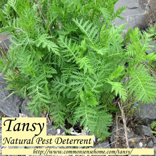 Tansy,  Natural Pest Deterrent @ Common Sense Homesteading