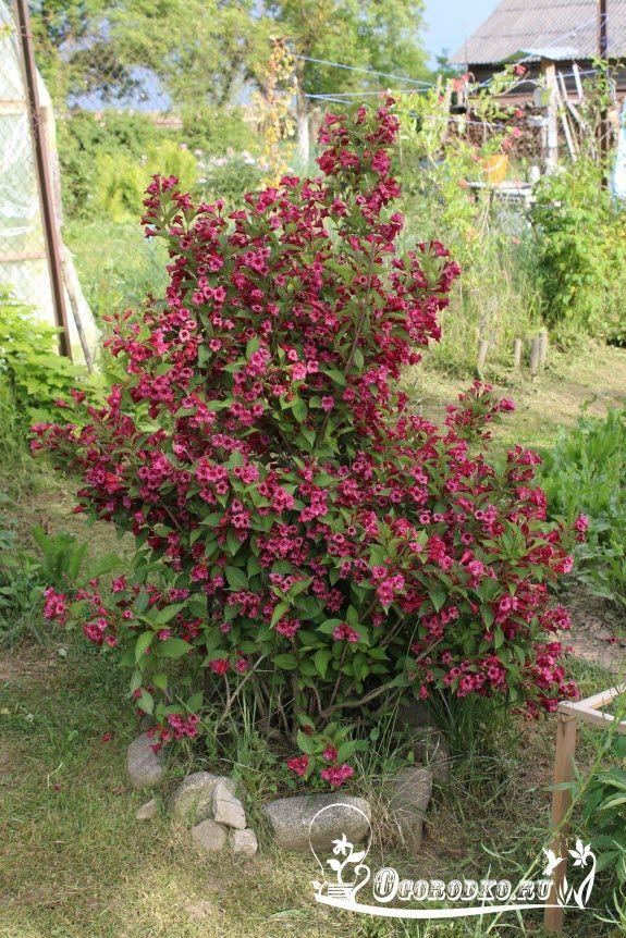 Вейгела – посадка кустарника не доставит вам хлопот, а в итоге подарит красивое цветение. Вейгела, где сажать, когда и как, какая почва нужна, как поливать и ухаживать после посадки