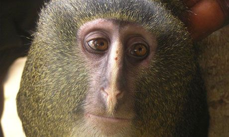 A new species of monkey known locally as the lesula in Congo