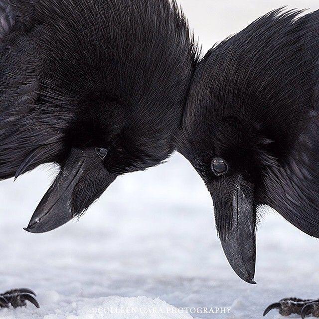 Colleen Gara's amazing picture of 2 ravens