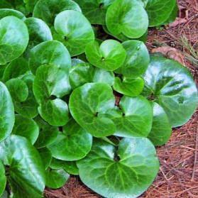 Asarum of mansoor als wintergroene bodembedekker - soorten asarum als bodembedekkers Vochtige standplaats Vermeerderen door de plantenkluit o te splitsen