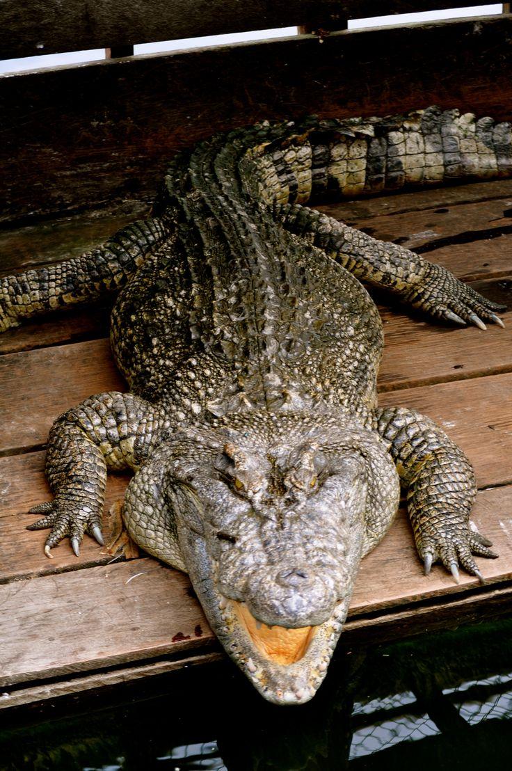 98 best alligators crocs turtles images on pinterest