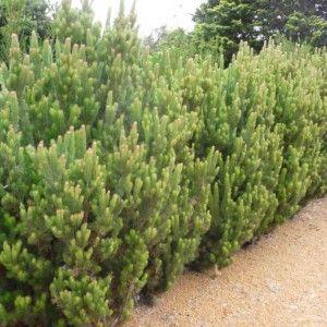 Woolly Bush Screen