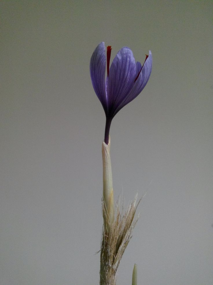 Like a beautiful girl! Saffron Flower from Hydroponic system in Plantekno Lab. http://plantekno.com