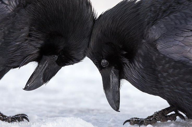 TENDER HEADBUTT Ravens in the snow by Colleen Gara in Banff National Park, Alberta, Canada. -- See also: colleengaraphotography.com