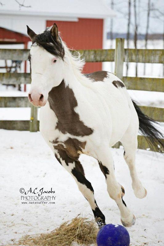 Stallions -  Fox Creek Farm'sCharmed Paints