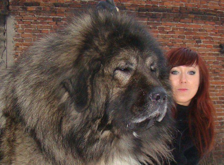 ... Russian Bears Dogs, Russian Caucasian, Mountain Dogs, Bigdogs, Giants