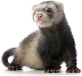 The ferret (Musteia putorius furo) is a domestic pet. It is not a wild animal, though ferrets are descendants of the European polecat (weasel) and are, therefore, close relatives of skunks, mink, otters, and badgers.