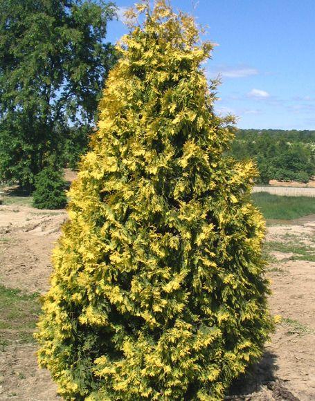 Aurea` Thuja occidentalis -