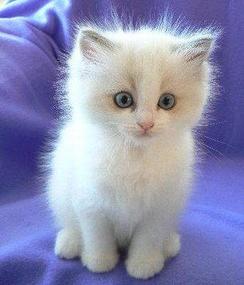I'm usually a dog person, but I think this little fluffball needs my love so I'll make an exception. Ragdoll Kitten.