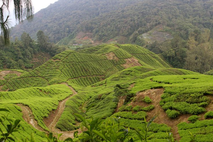 Tea for Two in the Cameron Highlands Malaysia