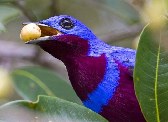 Foto crejoá (Cotinga maculata) por Ciro Albano | Wiki Aves - A Enciclopédia das Aves do Brasil
