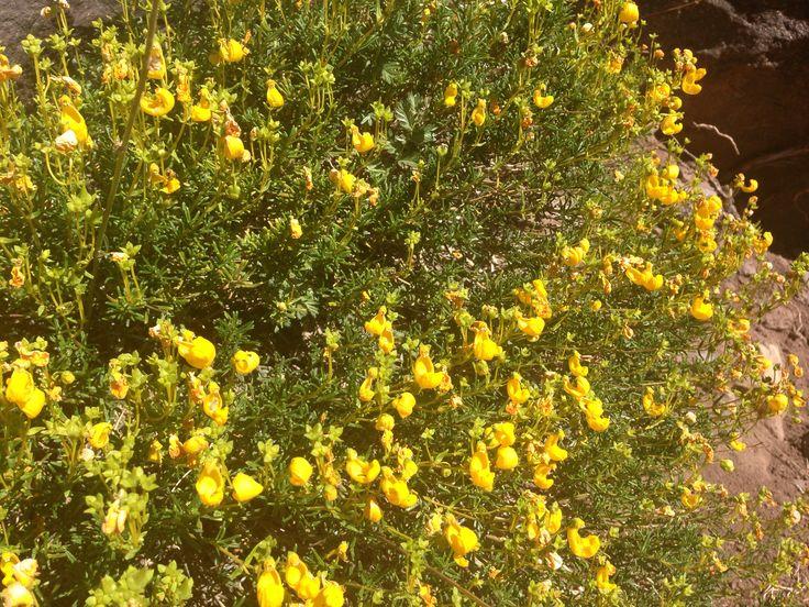 Calceolaria spp. Parque Juncal, portillo, Febrero 2015