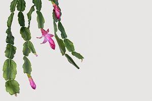 Shrimp Cactus | ASPCA