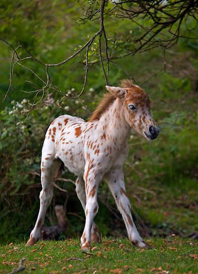 adorable appy foal