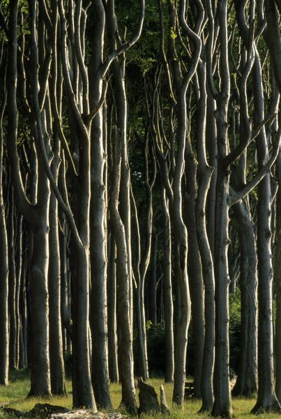 View through the trees in Rugen Island's Gespensterwald.' by National Geographic