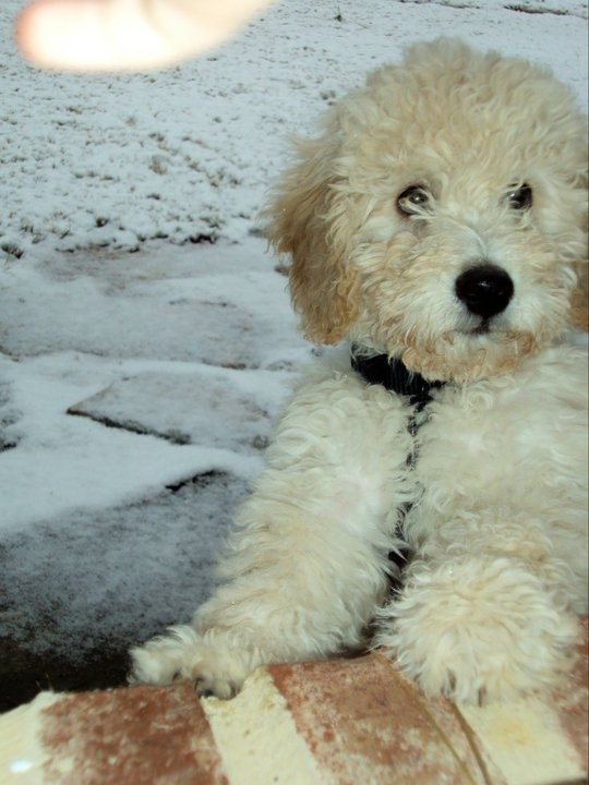 Goldendoodle Moses Cute little dogs, Goldendoodle